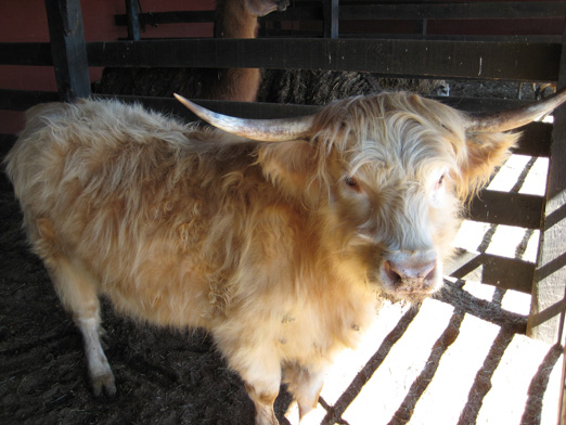 Shaggy Cows